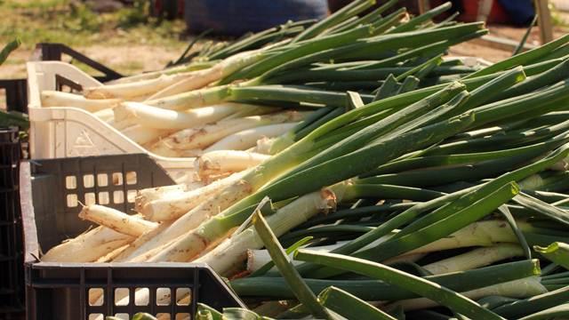 Proizvodnja praziluka: Tržište traži dužu i deblju stabljiku
