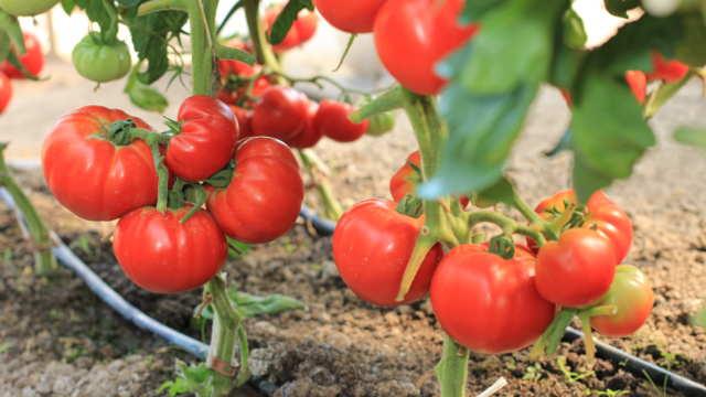 Srpski poljoprivredni proizvodi uskoro i na egipatskom tržištu