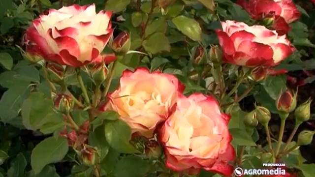 Ovako izgleda bašta u kojoj se gaji preko 2.000 starih vrsta ruža
