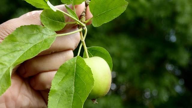SAVETI: Kako da pravilno obavite ručnu berbu voća