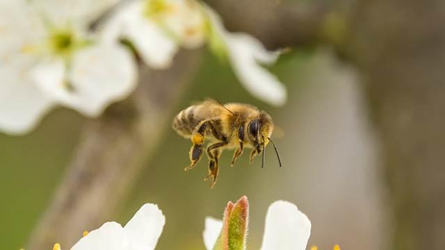 Matica direktno kontroliše ponašanje pčela