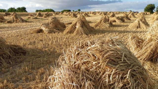 Žetva pšenice u Srbiji se sve više zahuktava, a ratari još ne znaju cenu
