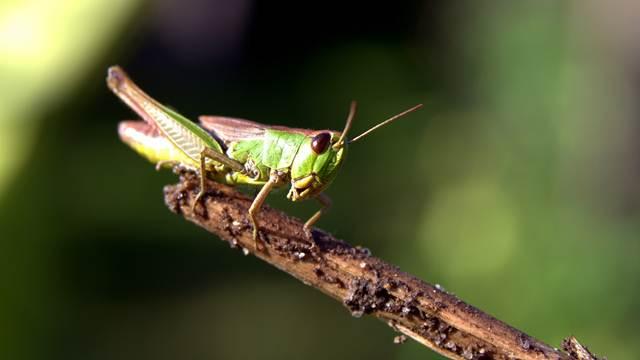 Skakavci napadaju nektarine i oštećuju plodove