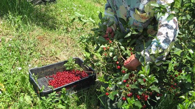 Za sezonce najviše posla u poljoprivredi: Sat od 130 do 200 dinara