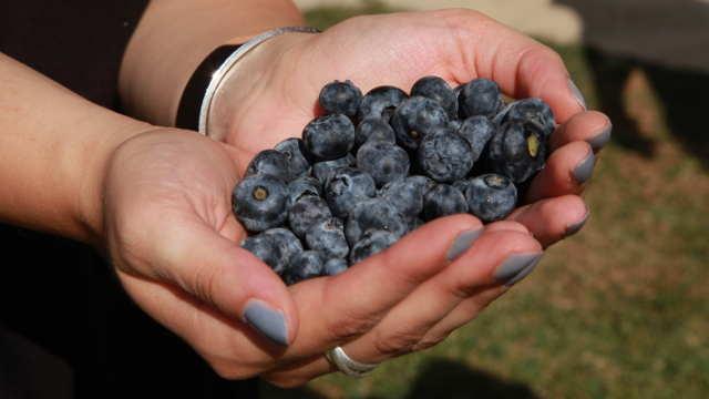 Svaka sadnica borovnice rodila po 2,5 kg u prvoj berbi