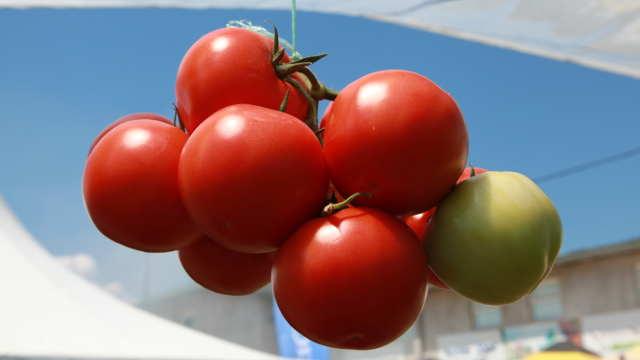 Roze hibridi paradajza najpopularniji među povrtarima u Počekovini