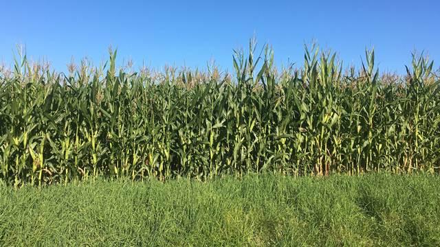 Od visokih temperatura najviše stradao kukuruz