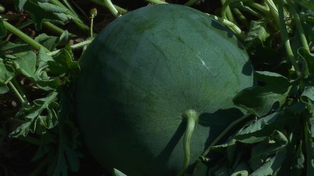 Ovo je najveći proizvođač lubenica u Srbiji