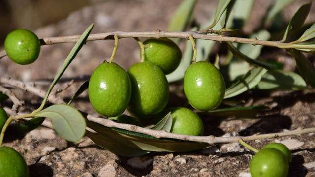 VIDEO VODIČ: Gajenje masline u bašti i u saksiji