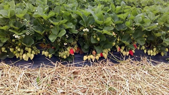 Gajenje jagoda u Holandiji - jednostavno i isplativo