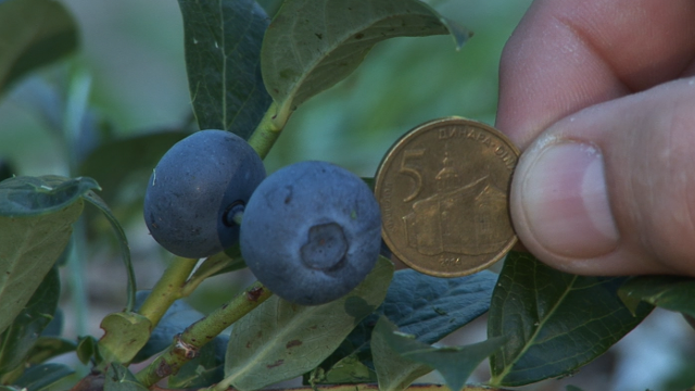 Sorta i nadmorska visina presudne za uspešno gajenje borovnice