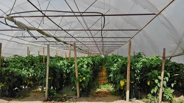 Bez hemije u plastenicima: Nova i delotvorna metoda biološke zaštite bilja