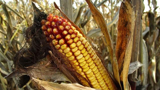 Ako se suša nastavi prinosi kukuruza i soje biće manji za 60 odsto