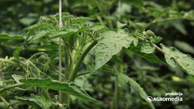 Sprej od listova paradajza – prirodna zaštita od lisnih vaši