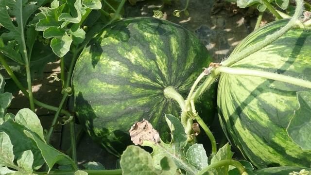 Znanjem do uspeha: Bostan gaje na 7, a krompir na 4 hektara