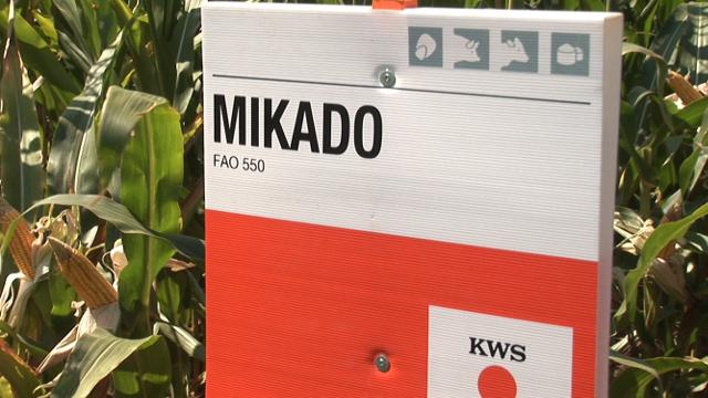 Uz ovakve hibride kukuruza možete da osigurate uspešnu proizvodnju