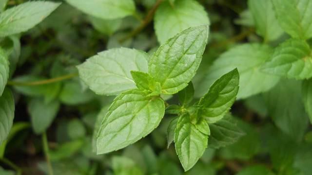 Kako obaviti berbu i žetvu aromatičnog i lekovitog bilja