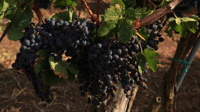 Berba grožđa u slankamenačkim vinogradima: kupci traže kilogram više