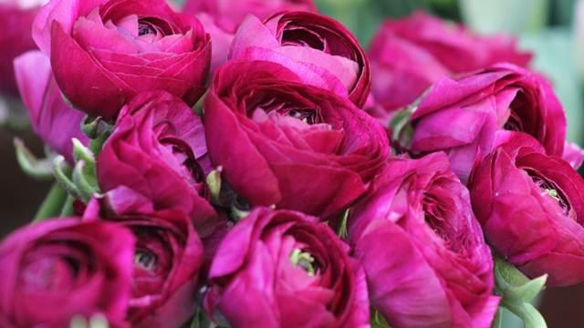 SAVETI: Kako gajiti ruže na balkonu i u sobi