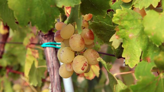 Berba grožđa: Suša umanjila prinos, ali povećala kvalitet