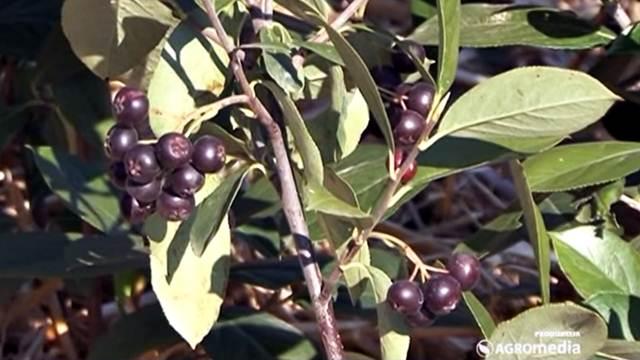 Kalemljenjem aronije na jarebiku dobija se kvalitetniji plod