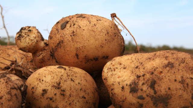 Sa ovim sortama krompira zavidni prinosi su uvek zagarantovani