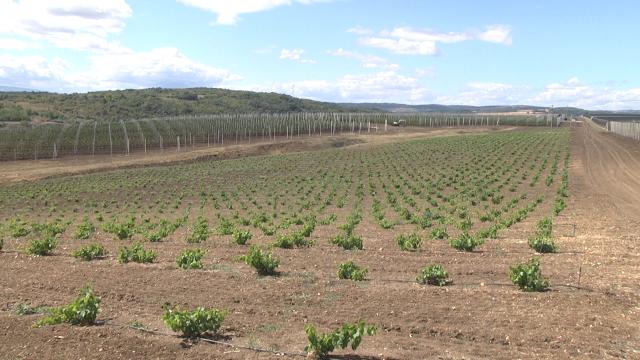 Ovako izgleda najsavremeniji zasad trešnje u Srbiji