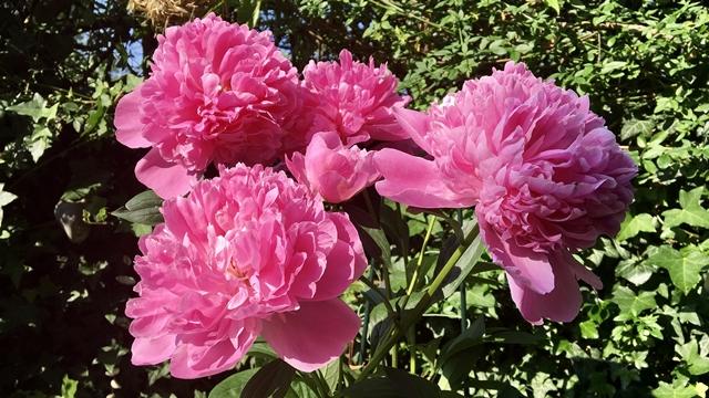 Božur - omiljeno cveće u narodu koje ne zahteva posebnu negu