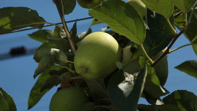 """Prva berba na plantaži """"Naša jabuka"""" premašila očekivanja"""