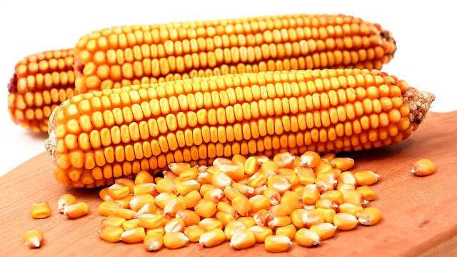 Hibridi kukuruza sa kojima ćete biti rekorder i u sušnoj godini