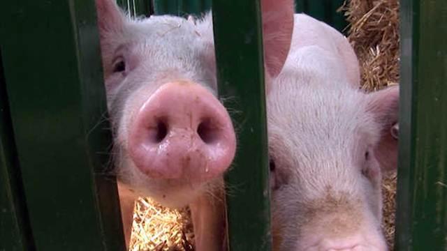 Gajenje svinja u Sremu sve perspektivnije