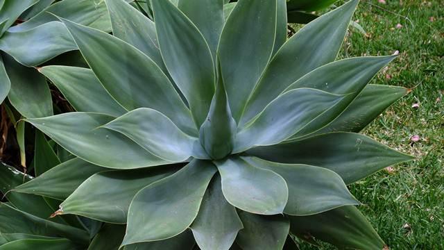 Biljka za sve: Od agave se prave tekila, brašno i veštački zaslađivači