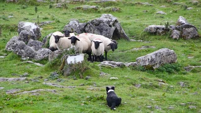 Zaštitite stoku na farmi - odaberite pouzdanog psa čuvara