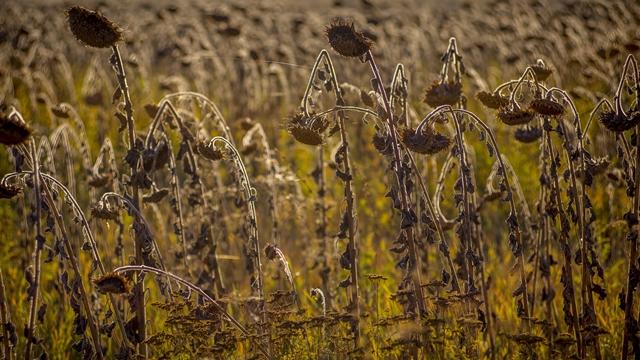 Rod suncokreta za 15 odsto manji nego prošle godine