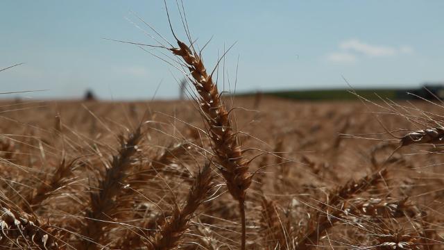 Sofru – sorta pšenice otporna na mraz