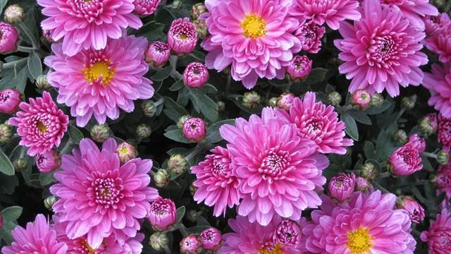 Hrizanteme najpopularnije na Izložbi cveća i dendro materijala u Nišu