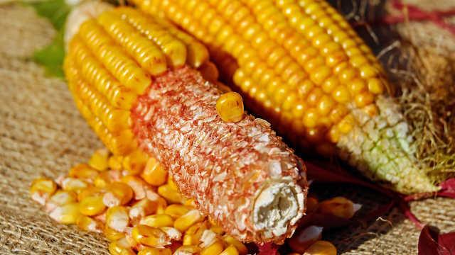 ZP 666 – đavolski rodan hibrid kukuruza