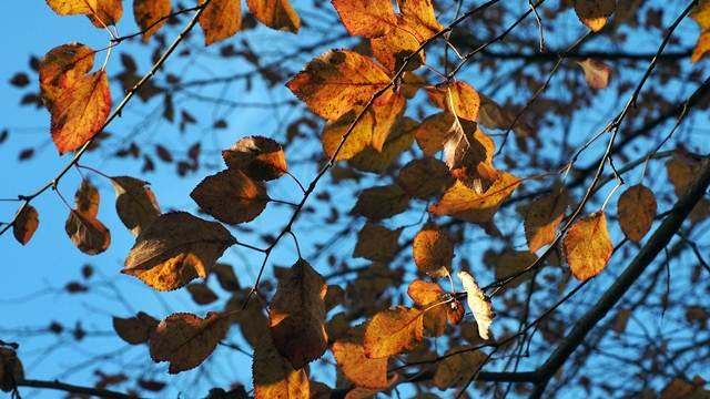 Zaštita šljive, maline i kupine tokom jeseni