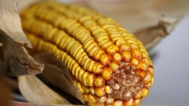 Ovo su hibridi kukuruza kojima ratari veruju