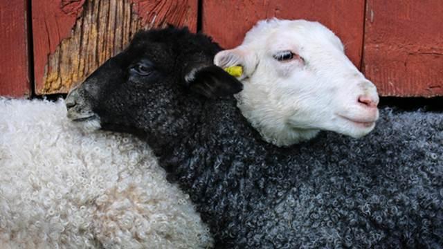 Saveti: Pravilna ishrana bremenitih ovaca