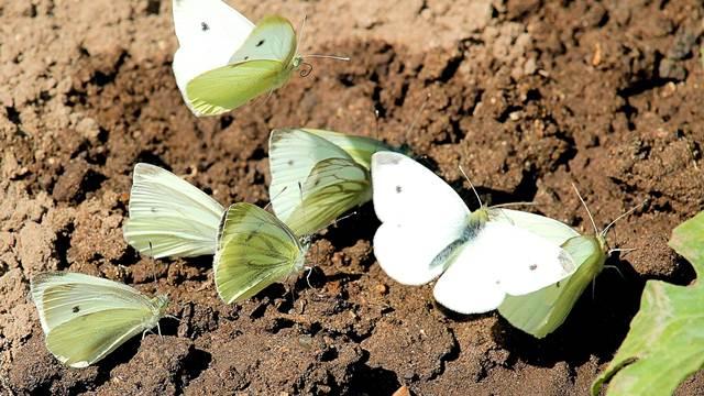 Zaštita kupusnjača od leptira kupusara