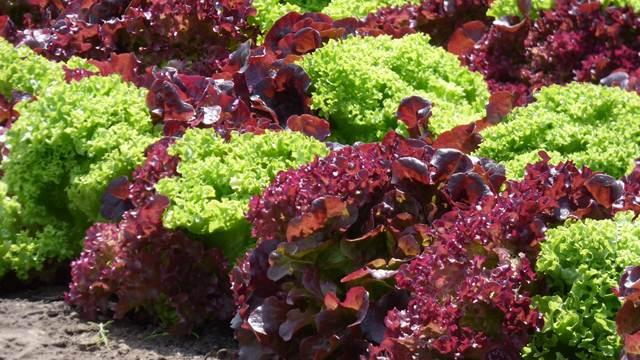 Izaberite pravu vrstu zelene salate za jesenju sadnju