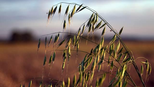 Proizvodnja ovsa: Pogodan za gajenje u planinama