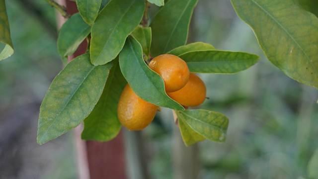 Isplativ hobi: Gajenje specifičnog voća i ukrasnog drveća