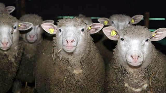 Il de Frans - rasa ovaca kvalitetnog mesa i visoke plodnosti