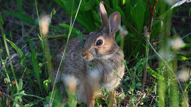 Bez hemije: Biološka zaštita voćaka od zečeva