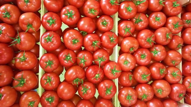 Proizvodnja paradajza: Sistematičnim radom do najboljeg ploda