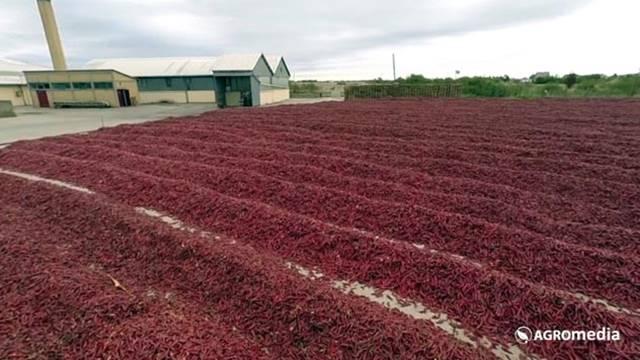 Od uspešne proizvodnje zavisi i kvalitet začinske paprike