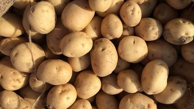 Sačuvajte krompir u skladištu - rešite se krompirovog moljca