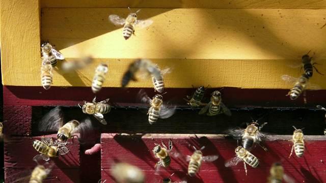 Jezik pčela je najsloženiji u celom životinjskom carstvu